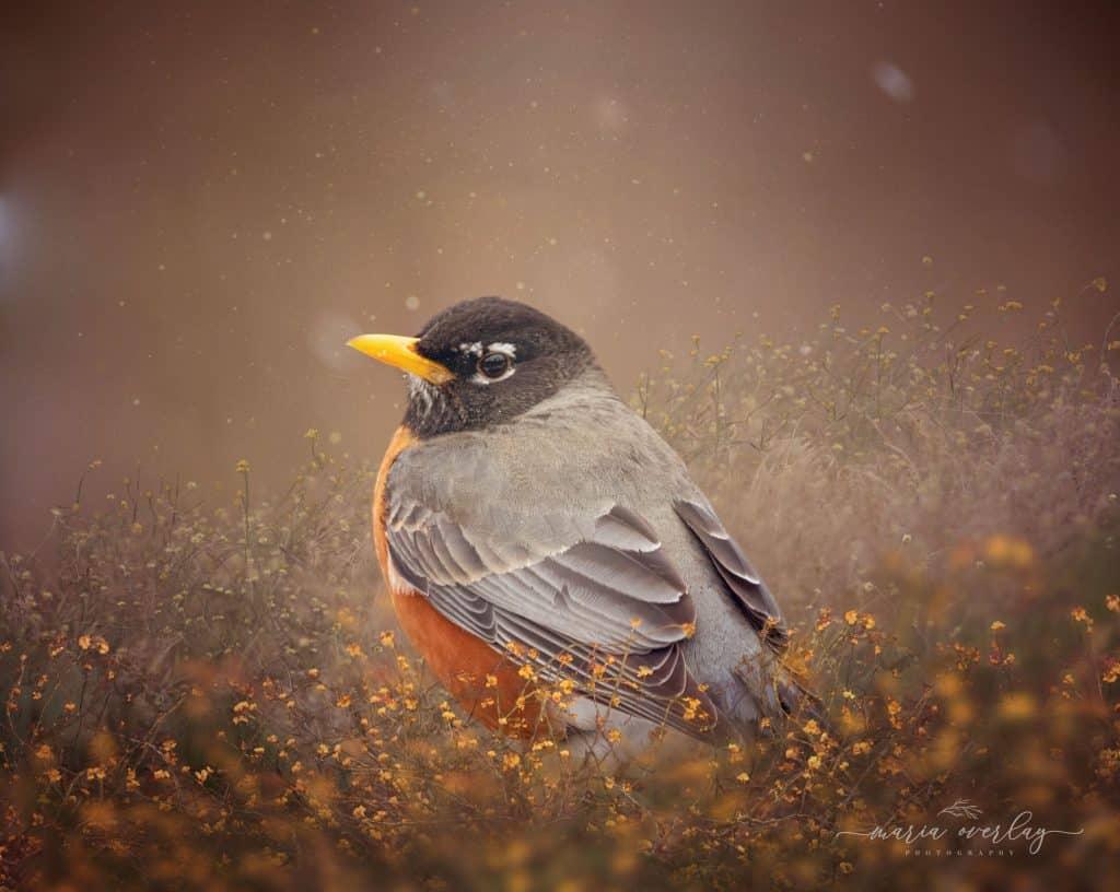 american robin bird in flowers